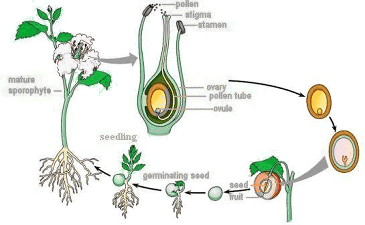 Picture of how a fruit develops from the a flower into a fruit with seeds