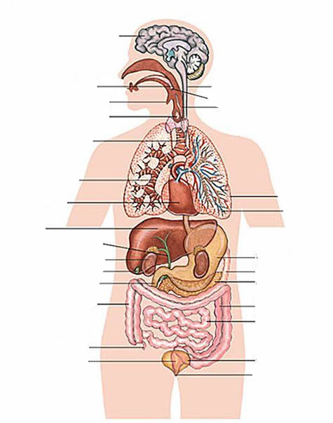Internal organs - human body exercise Learning English