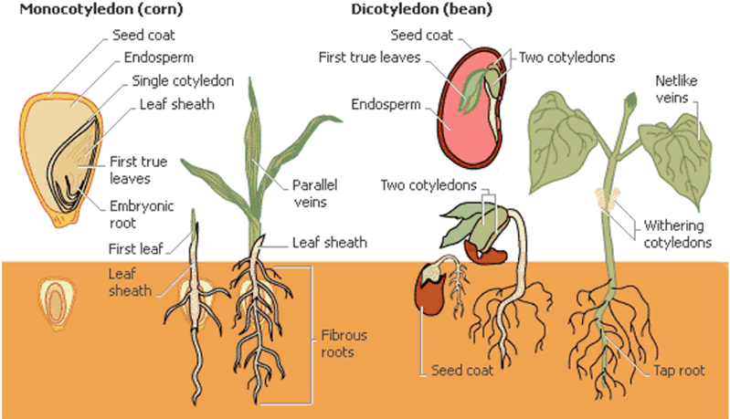 Flowering plants monocots and dicots monocotyledon and dicotyledon