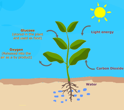 does photosythesis Plants use a process called photosynthesis to make food during photosynthesis, plants trap light energy with their leaves plants use the energy of the sun to change.