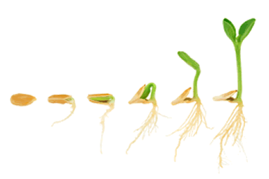 Stages if seed germanation. From a seed to a plant.