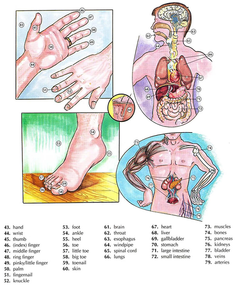 human body vocabulary and anatomy vocabulary with pictures