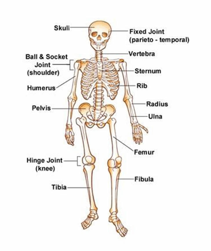 Learning about the human skeleton vocabulary